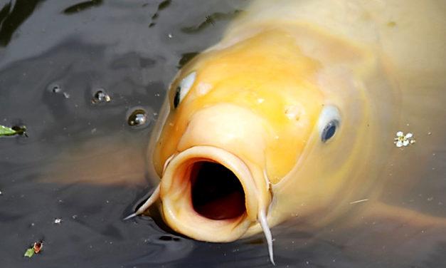 El pez por la boca muere