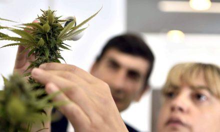 Primer cultivo científico de cannabis medicinal