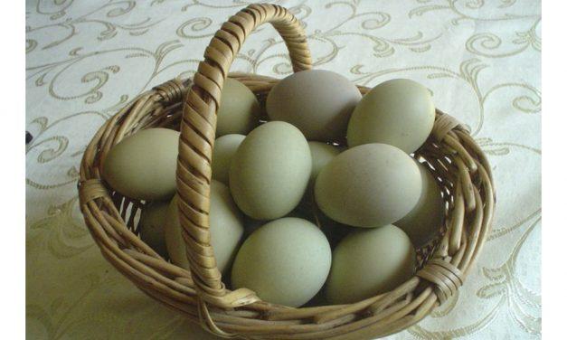 Hoy, huevos verdes y de avestruz